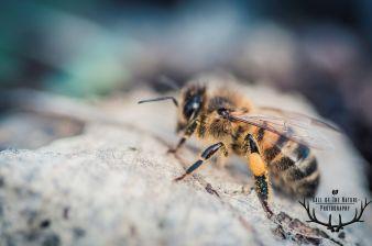 bij pollen