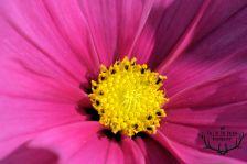bloemkern