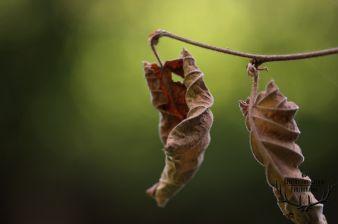 bruin blad