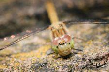 libelleogen