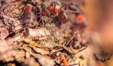 mierenbende